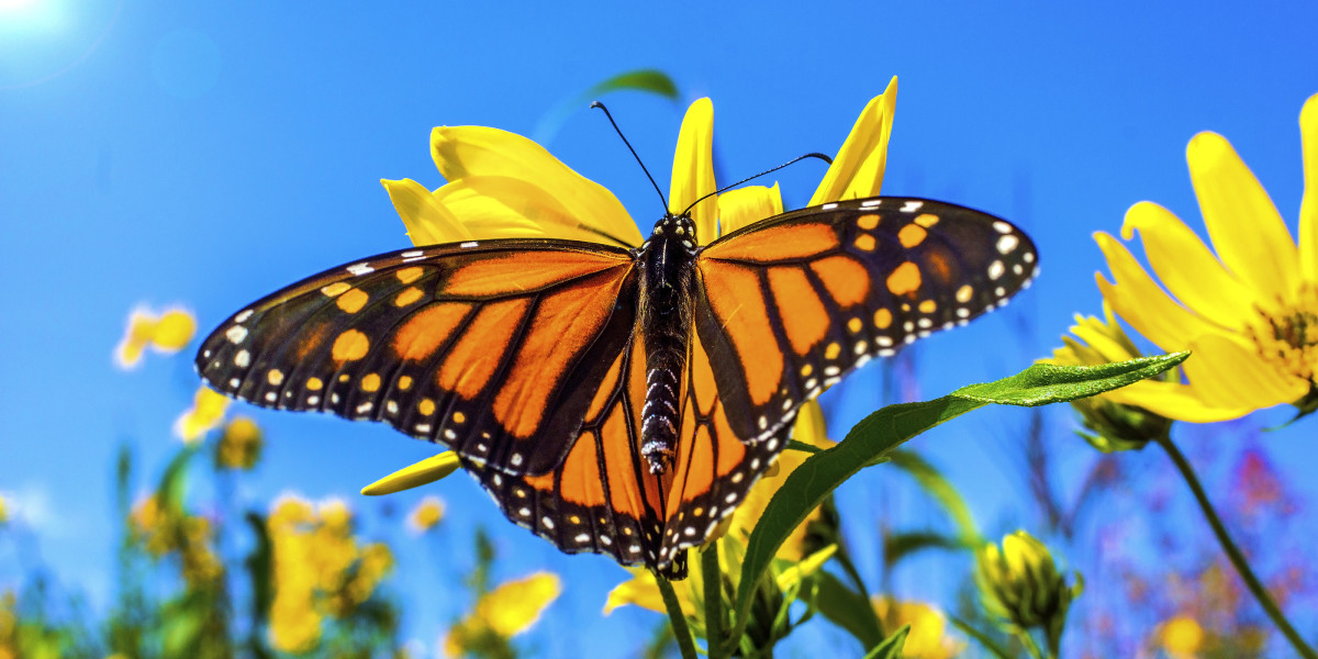 A beautiful Monarch close up on a yellow flower. Soft blue sky, and a field of flowers in the background. A beautiful background of a butterfly on a summer day in Michigan.